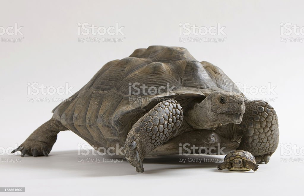 Big desert tortoise with baby in front stock photo