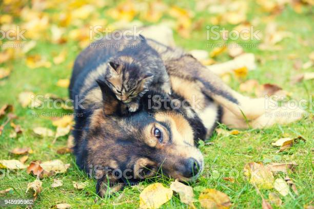 Big dog and a little kitten are the best friends playing together picture id945995962?b=1&k=6&m=945995962&s=612x612&h=idrgamdddzip 3c h70k1gp utioubrevukxknn1vwc=