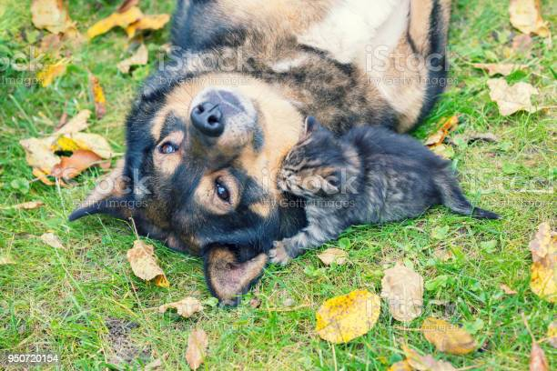 Big dog and a little kitten are the best friends playing together picture id950720154?b=1&k=6&m=950720154&s=612x612&h=4gvmitgrxaybr2muxvk0mgue  ykbi05gd 5faii1oi=