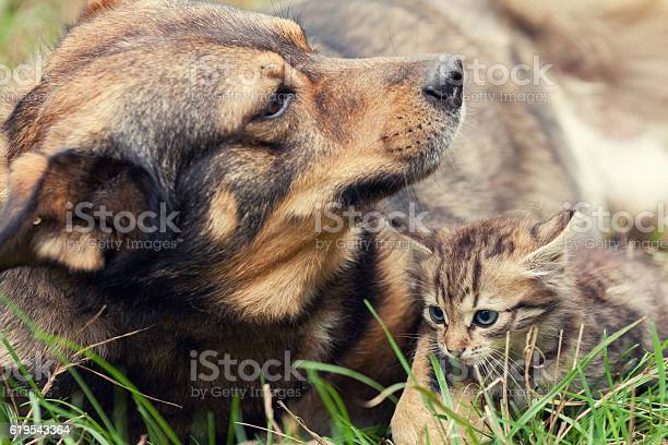 Big dog and a small kitten lying together picture id619543364?b=1&k=6&m=619543364&s=612x612&h=mzojq ykiowewa8m my3kezccryjccsv t8re1peiai=