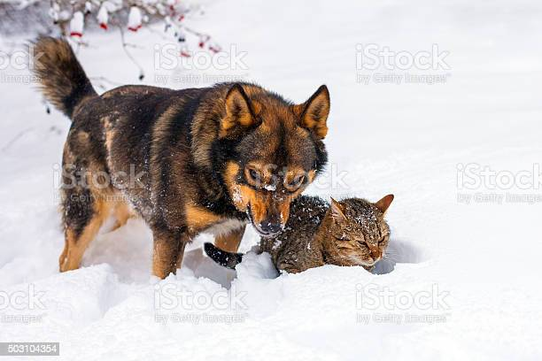Big dog and cat playing in snow picture id503104354?b=1&k=6&m=503104354&s=612x612&h=aecblaokd ssmojdc7mndoc4mnnzcgmvjp9glm gac0=