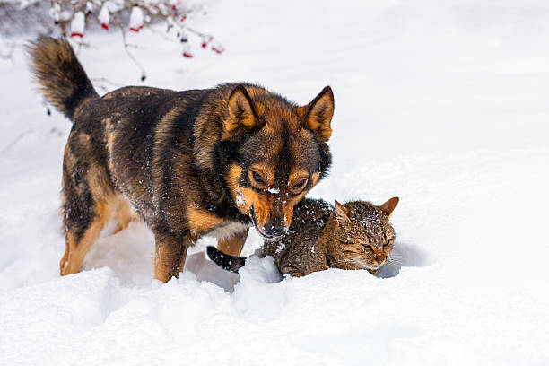 Big dog and cat playing in snow picture id503104354?b=1&k=6&m=503104354&s=612x612&w=0&h=zzn26qefvbux7anodu4gjjdv9igpveb9fyzjf1ybdv8=