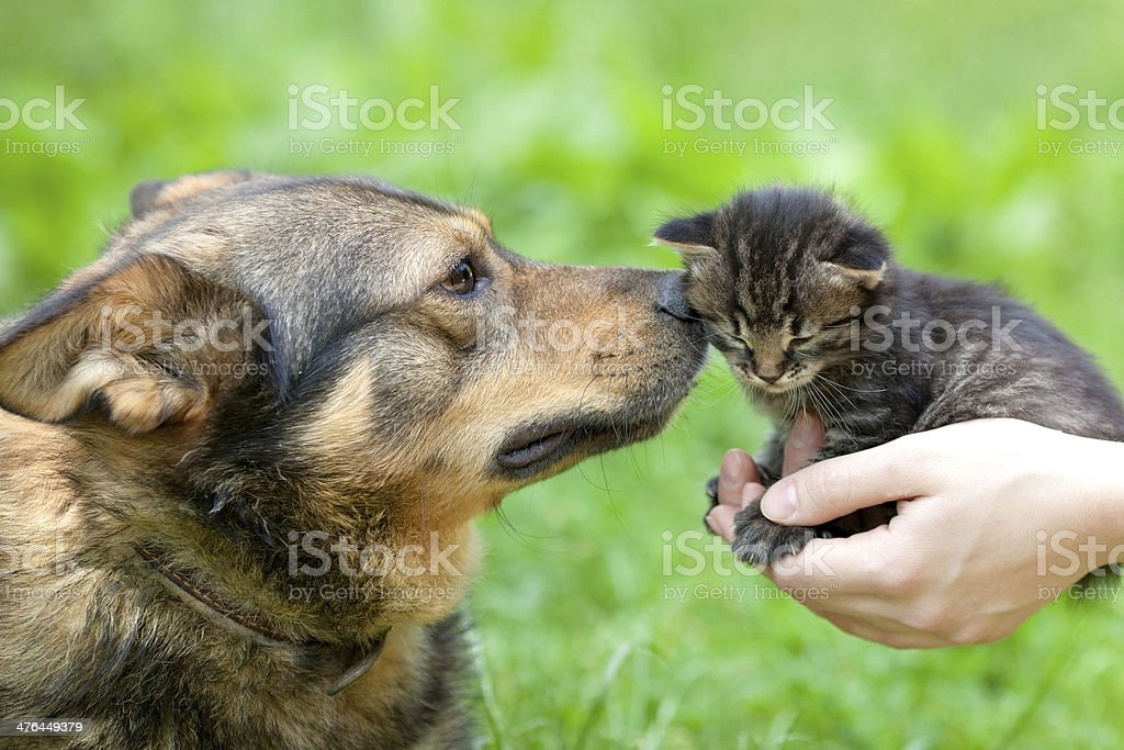 Big dog and little kitten in female hands royalty-free stock photo