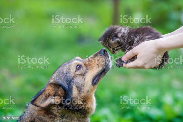Big dog and little kitten in female hands sniffing each other picture id807218162?b=1&k=6&m=807218162&s=612x612&h=njdgw4 nir9feqh wl1y6mqdtuq8ox9xen6ddvuzp9u=