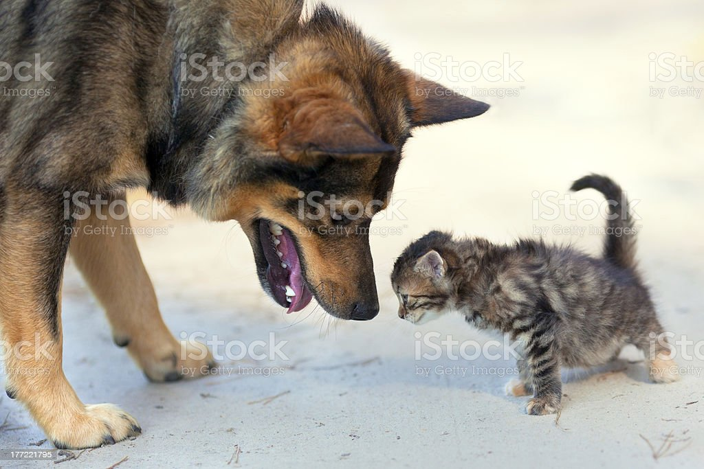 Big dog and little kitten royalty-free stock photo