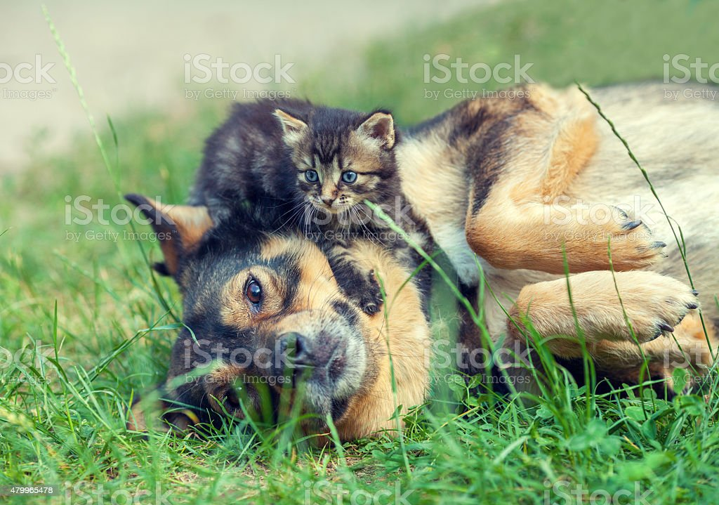 Big dog and little kitten stock photo