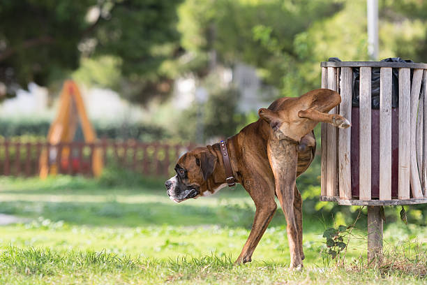 Big dog boxer peeing in a park. stock photo