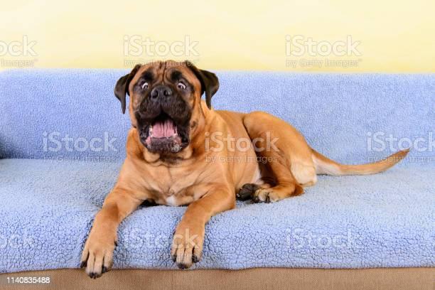 Big dog bullmastiff animals barking theme picture id1140835488?b=1&k=6&m=1140835488&s=612x612&h=mqwevhk3jq1cdupyzhpaupqmuuyck kgzkvq8qj51lw=