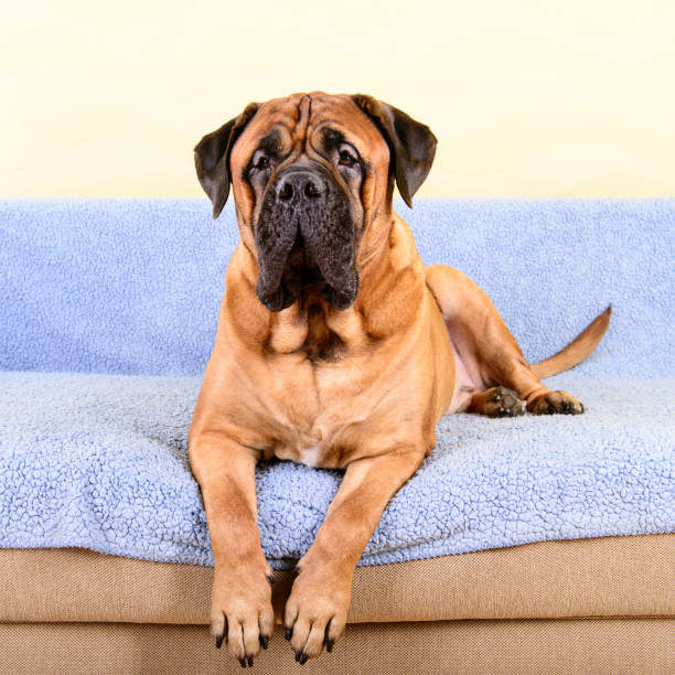 tema de animales Bullmastiff perro grande - foto de stock