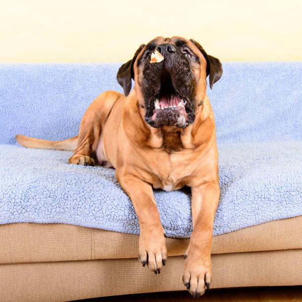 gran perro Bullmastiff PET atrapa alimentos - foto de stock