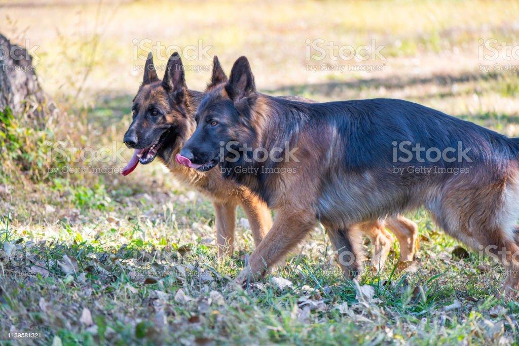 Big dog, German shepherd dog on the grass
