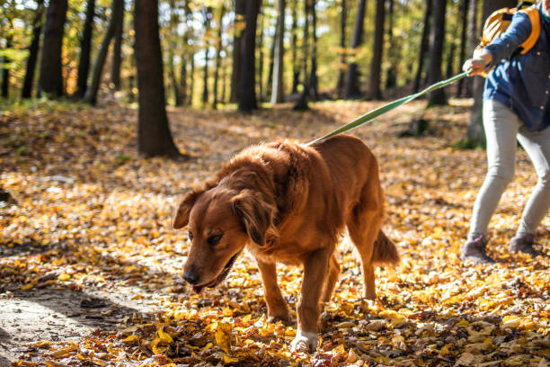 Big dog is pulling pet owner in autumn forest stock photo