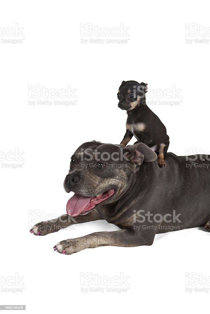 Big dog Little puppy best friends stock photo