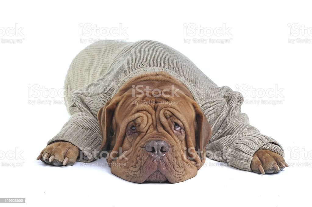 Big Dog Lying in Sweater stock photo
