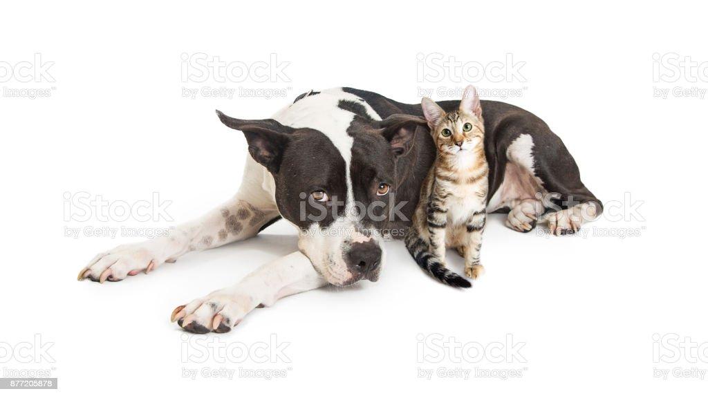 Grande cão deitado com gatinho - foto de acervo