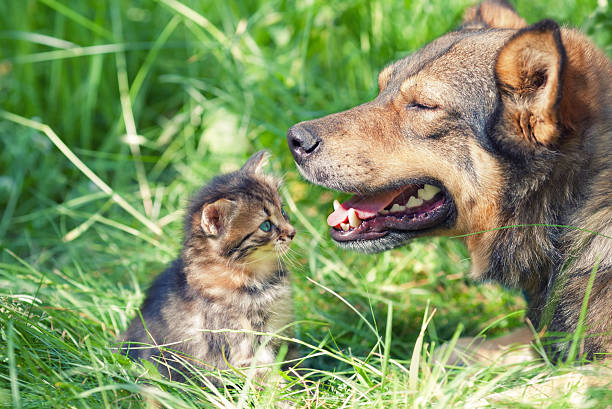 Big dog meeting little kitten picture id483800111?b=1&k=6&m=483800111&s=612x612&w=0&h=rwi6wlgvbbdx6fzb336srwcue7bswe3b0ajx2oatld4=