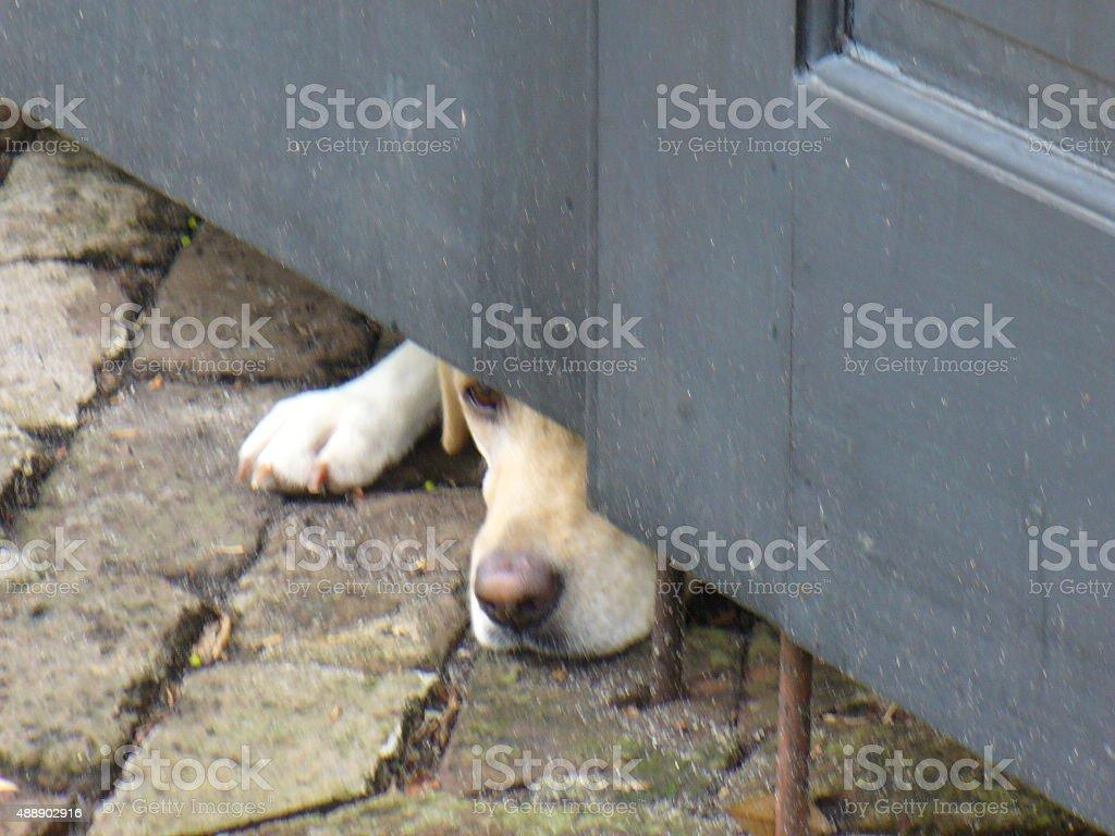 Big Dog On Cobblestone Pavement Under Door stock photo
