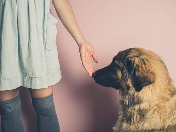 Big dog smelling hand of woman stock photo
