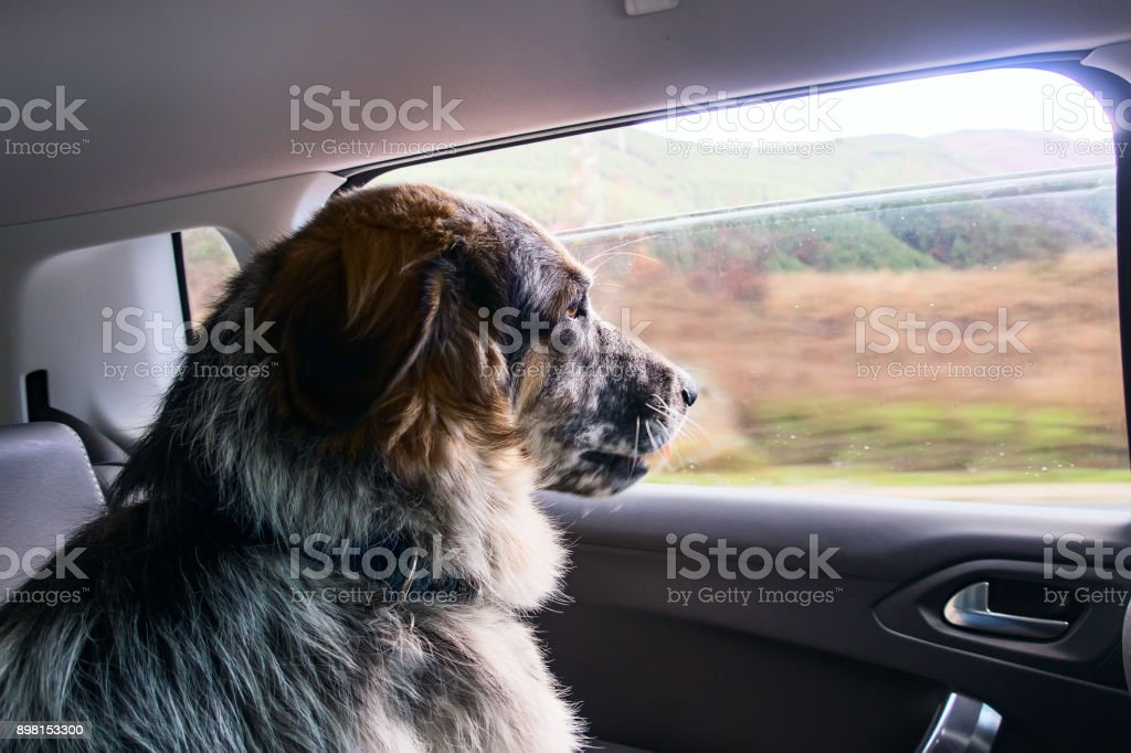 Big dog travelling in a car stock photo