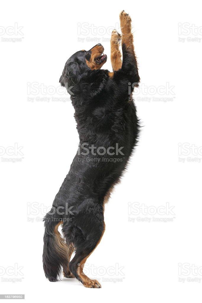 big dog upright on white stock photo