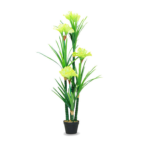 Big dracaena palm in a pot isolated over white stock photo