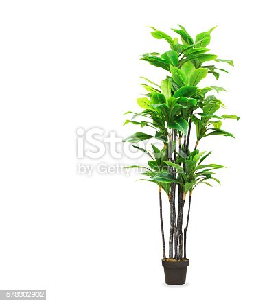 Big dracaena palm in a pot isolated over whiteBig dracaena palm in a pot isolated over white