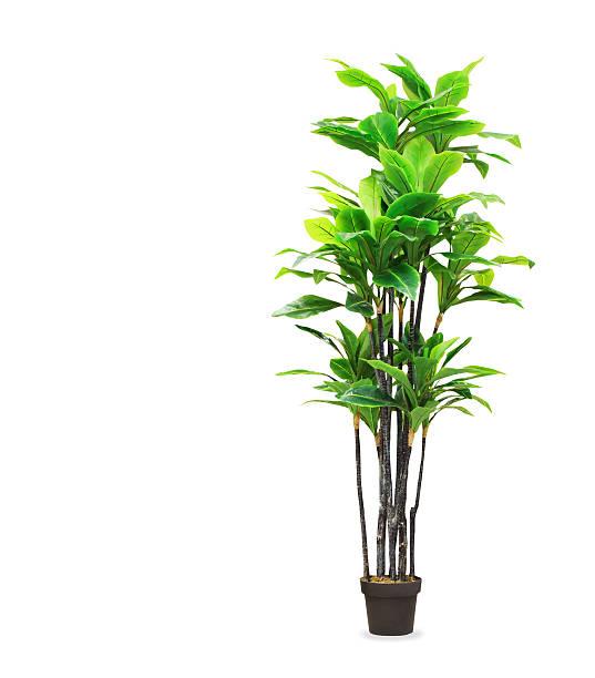 Big dracaena palm in a pot isolated over white picture id578302902?b=1&k=6&m=578302902&s=612x612&w=0&h=knauxqbwepy9hquk3eqmnlbedduhckezx3hbyyme2tq=