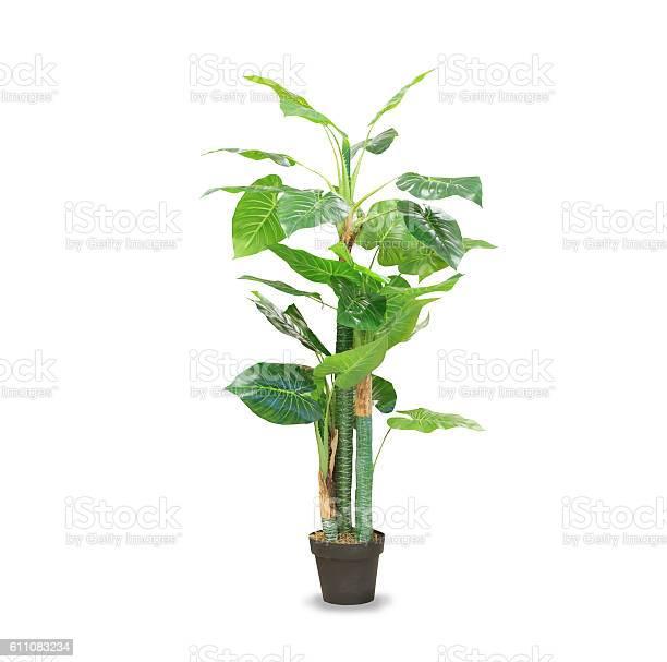 Big dracaena palm in a pot isolated over white picture id611083234?b=1&k=6&m=611083234&s=612x612&h=vwzh3usogpgzs v8go0fo3kttupwgjhgr xjegwldiw=