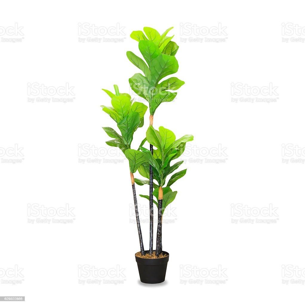 Big dracaena palm in a pot isolated over white royalty-free stock photo