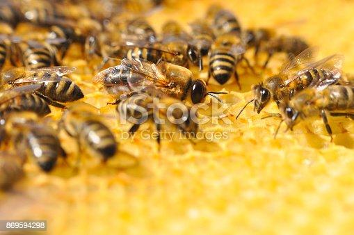 istock Big drone bee in honeycomb. 869594298