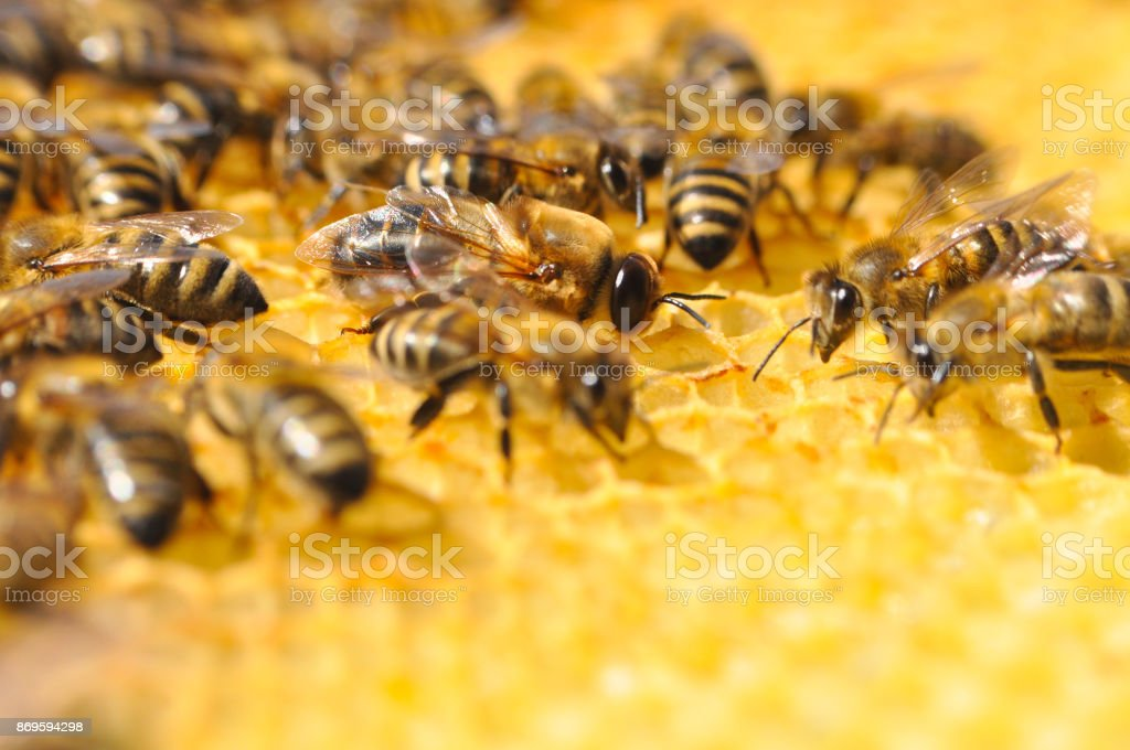 Big drone bee in honeycomb. stock photo
