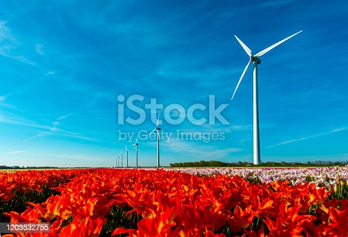 Row of windmills. in the foreground fields off orange, yellow, purple and white tulips near Schragen, the Netherlands.
