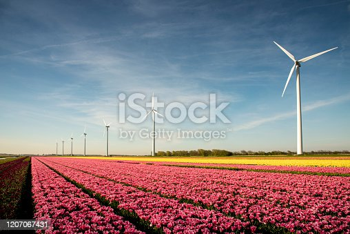 Row of windmills. in the foreground fields of, pink and yellow tulips near Schragen, the Netherlands.