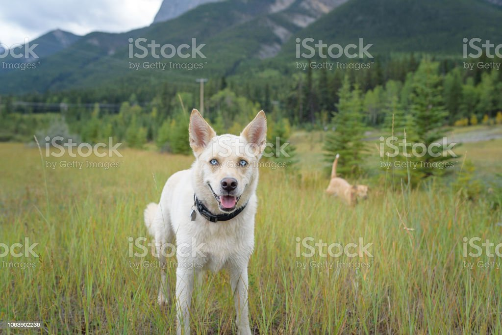 Big eared dog with blue eyes grinning on a hike stock photo
