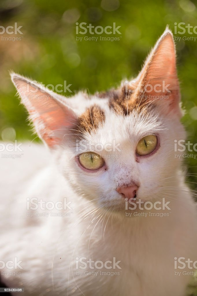 Big Eared White Cat stock photo