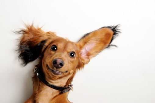 Dog with funny ears on white background.
