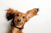 Big ears, upside down.