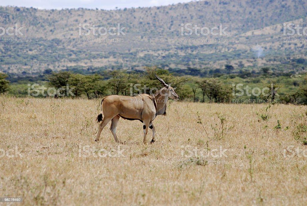big eland antelope royalty-free stock photo