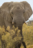 African bull elephant in musth walking through the grasslands, national park africa