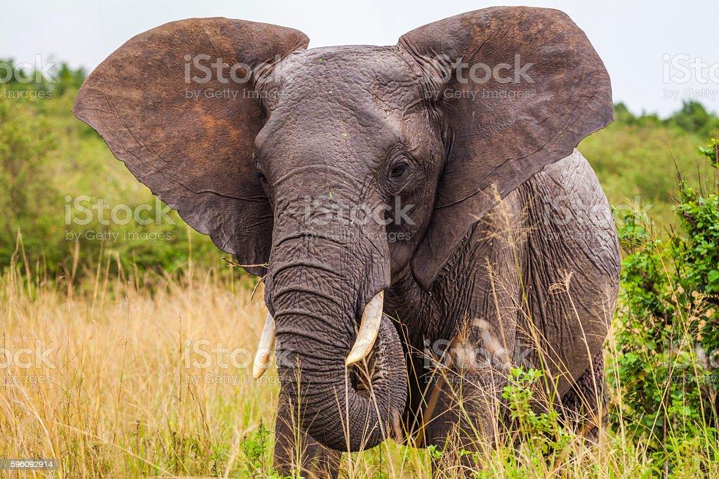 Big elephant. Kenya National Park. Africa. royalty-free stock photo