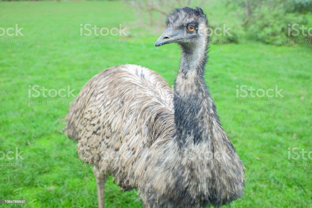 Emu grande fica em campo verde, no parque de vida selvagem na Austrália - foto de acervo