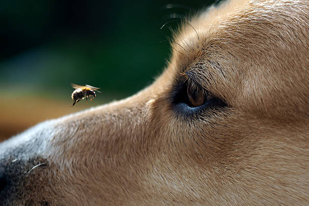 Big Eye dog and flying bee stock photo