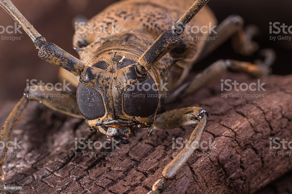 Big Eye Long horned Beetle photo libre de droits