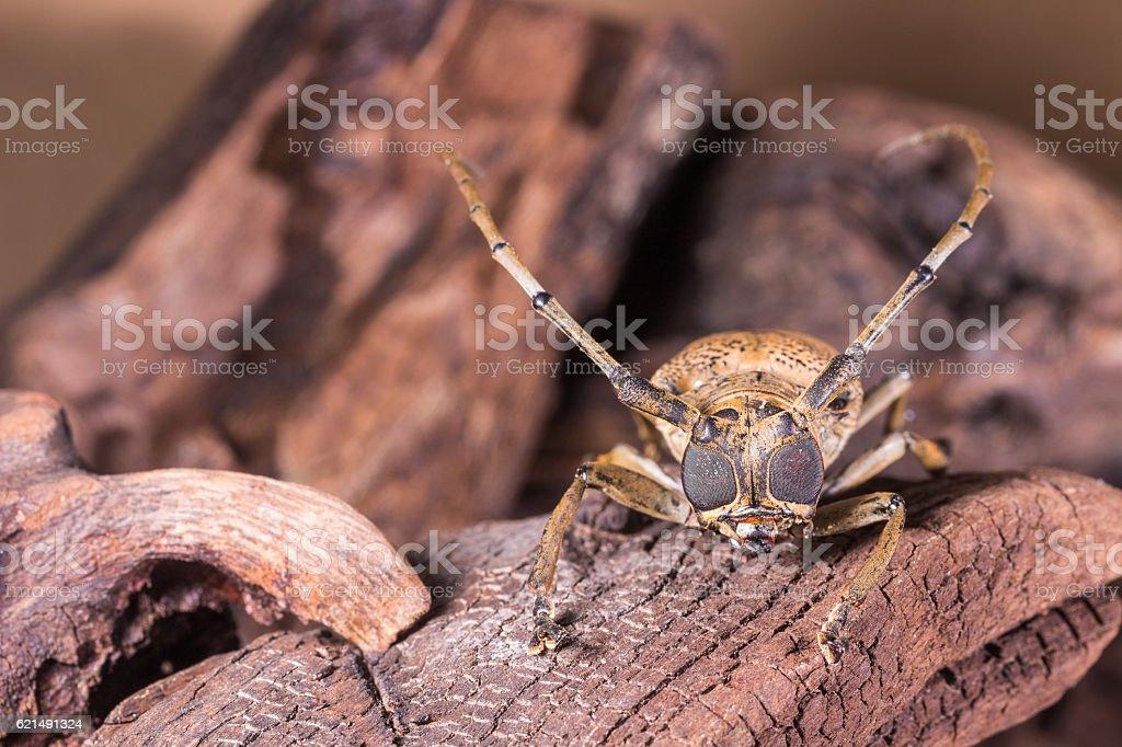 Big Eye Long horned Beetle Lizenzfreies stock-foto
