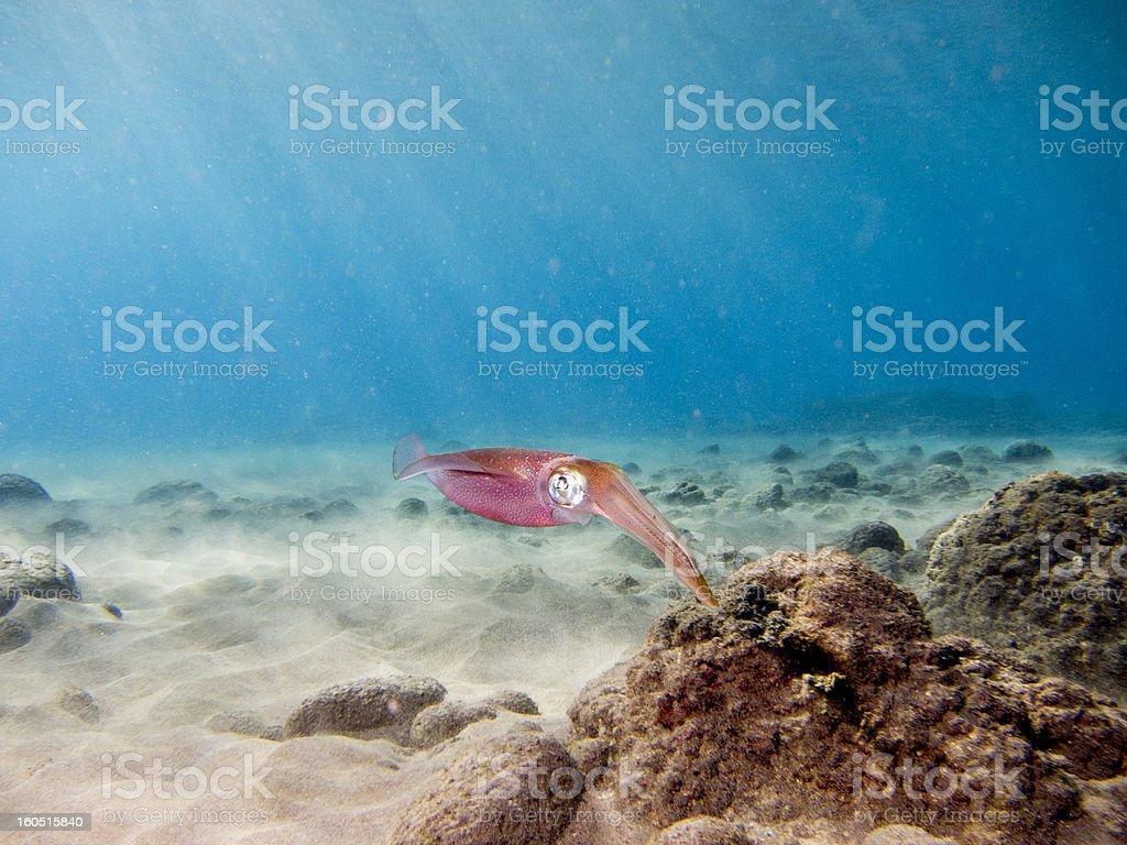 Big eye of a Bigfin Squid stock photo