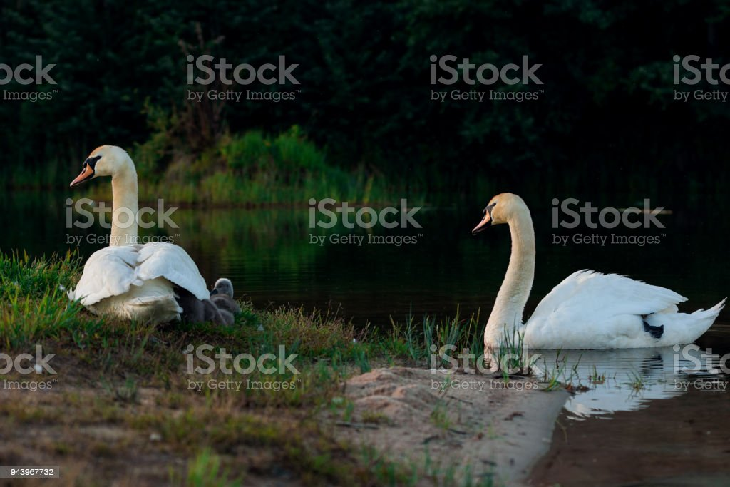 Big family of white wild swans with small ducklings stock photo