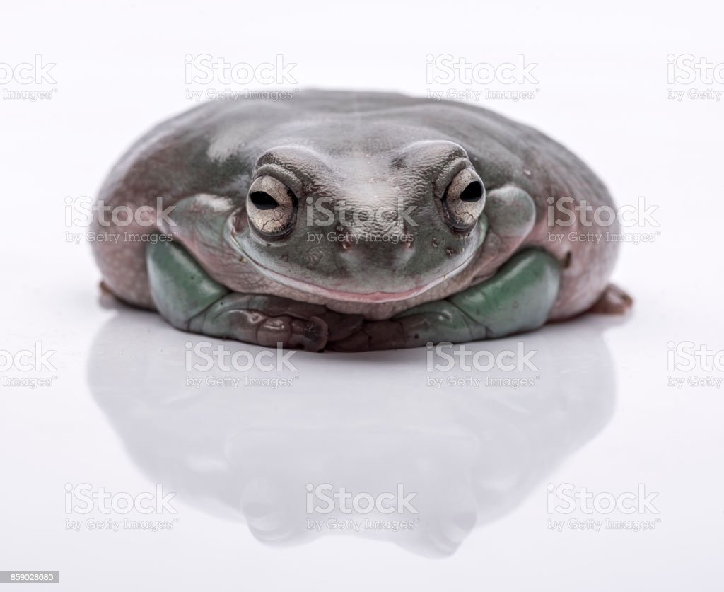 A big, fat Australian Tree Frog, sitting on the ground. Isolated against a pure white background. Focus on the eyes. Room for copy stock photo