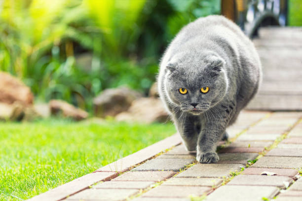 Big fat overweight serious grey british cat with yellow eyes walking picture id1161730091?b=1&k=6&m=1161730091&s=612x612&w=0&h=oaj4r2x9vmtnbpqiuy603j4yqtixeeajjovu1c9c7 m=