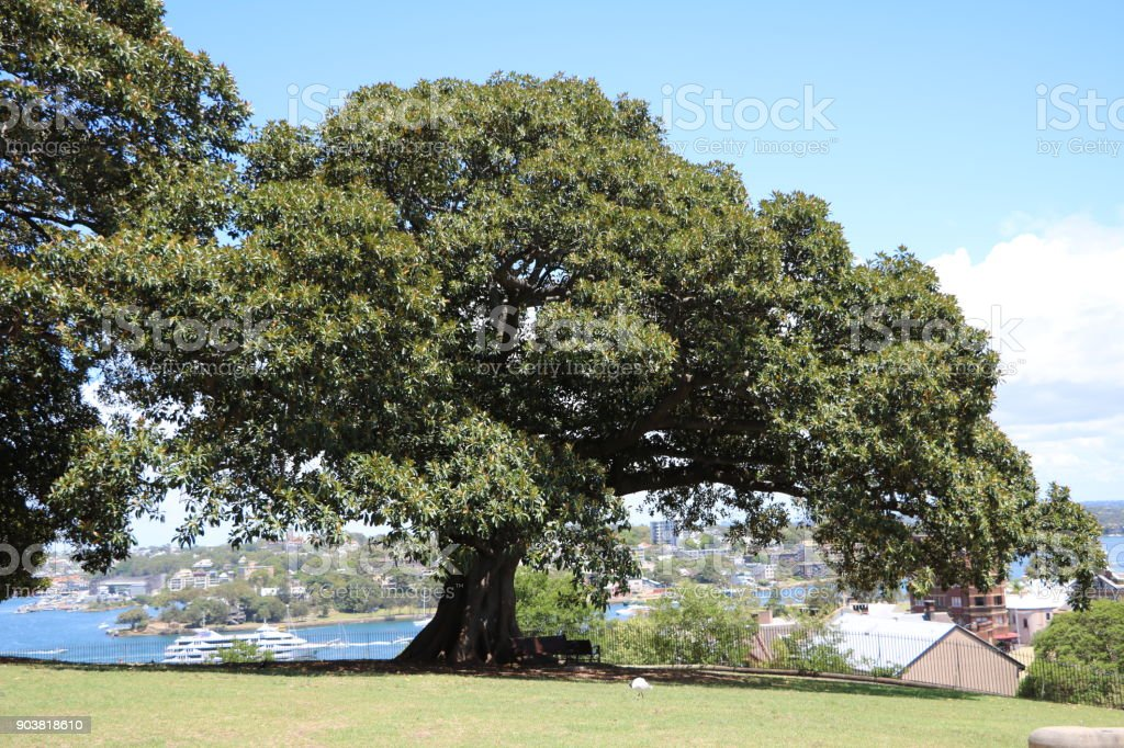 Big Ficus macrophylla tree at Observatory Hill Lookout in Sydney, New South Wales Australia stock photo