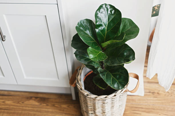 grand figuier de feuille de violon dans le pot moderne élégant près des meubles de cuisine. ficus lyrata feuilles, plante élégante sur le plancher en bois dans la cuisine. décor floral dans la maison moderne - figue photos et images de collection